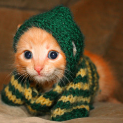cute kitten wearing a sweater